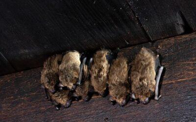 Flagermus på loftet – et problem for boligejeren